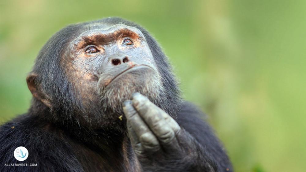 Шимпанзе звинуватили у відсутності кращих людських якостей